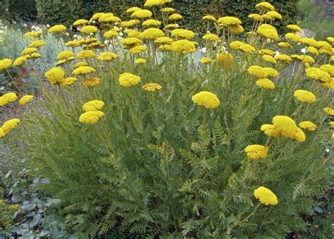 Donne bouture Achillée grandiflora