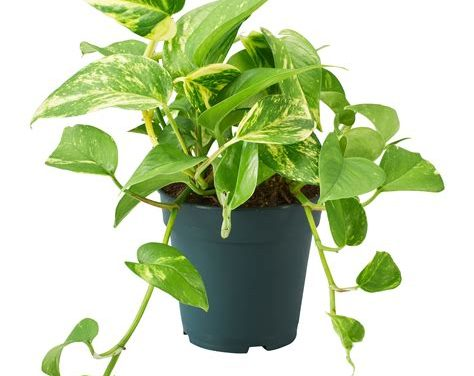 Donne bouture epipremum plante d'interieur